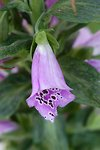 Pictures of Digitalis, Foxglove