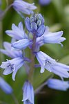 Pictures of Hyacinthoides, bluebells