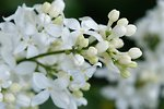 Pictures of Syringa