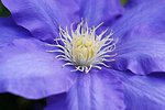 Pictures of Clematis
