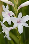 Pictures of Watsonia pyramidata