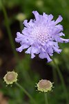 Pictures of Scabiosa caucasica