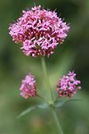 Pictures of Centranthus ruber, Red valerian