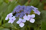 Pictures of Hydrangea