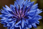 Pictures of Centaurea cyanus, Bachelor's Button